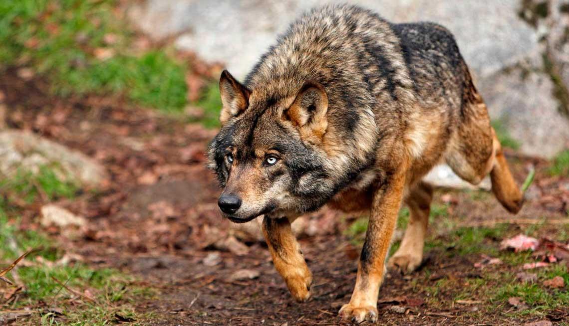 Resultado de imagen de lobos ibericos
